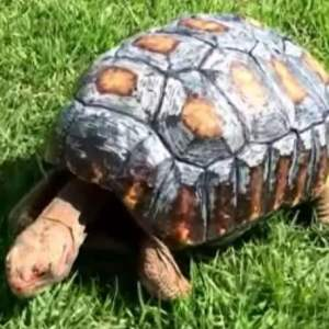 A Tortoise gets a 3D-printed shell after Surviving a Fire