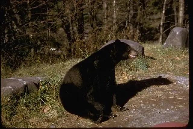 Bear-great-smoky-mtns-nps1