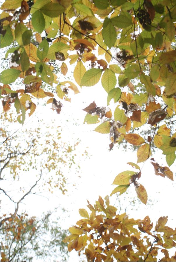 View of Sky Through Canopy of Changing Leaves