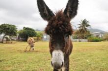 St Kitts Donkey