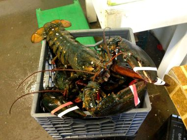 Cape Cod Huge Lobster