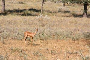 Jaisalmer Drive Deer