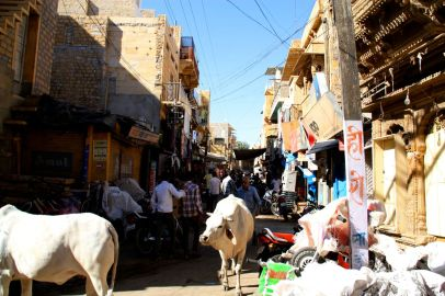 Jaisalmer Fort Cows