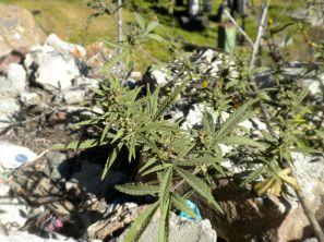 Marijuana Plant Bhutan