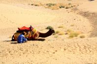 Thar Desert Camel Close