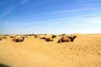 Thar Desert Camel Rides