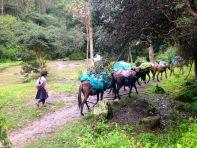 Lares Trek Mules