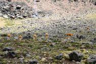 Pampa Canahuas Vicuna Herd
