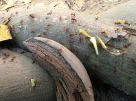 Park Tayrona Ants