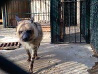Algiers Le Jardin d'Essai du Hamma Hyena