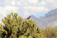 Colca Canyon Bird