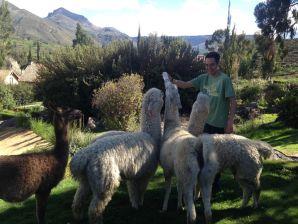 Las Casitas del Colca Alpaca Feeding Sean