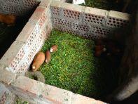 Las Casitas del Colca Guinea Pig