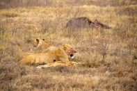 Ngorongoro Crater Lions with bloody face