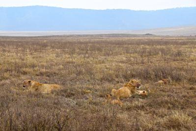 Ngorongoro Crater Lions