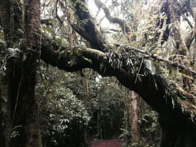 Kilimanjaro Back Mossy Tree
