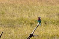 Serengeti Bird