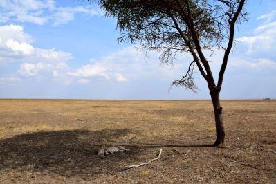 Serengeti Cheetahs under Tree