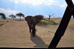 Serengeti Elephant Charging
