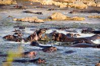 Serengeti Hippo FIght