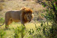 Serengeti Lion Licking Lips