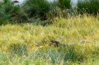 Serengeti Monitor Lizard
