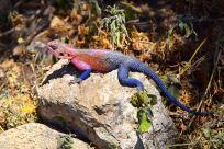 Serengeti Pink and Blue Agama Lizard