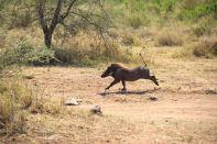 Serengeti Warthog-2