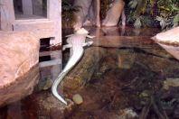 Atlanta Aquarium Albino Aligator