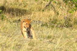 Maasai Mara Cub Playing
