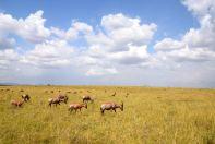Maasai Mara Grazing