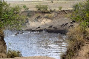 Maasai Mara Great Migration Wildebeest Crossing River