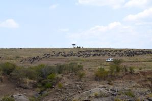 Maasai Mara Great Migration Wildebeest River Crossed