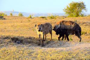 Maasai Mara Hyenas Home