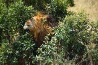 Maasai Mara Lion Scratching