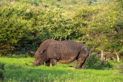 Bush Braai Rhino