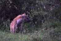 Guided Walk Hyena