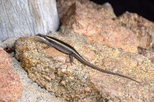 Skukuza Lizard
