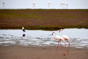 Sandwich Harbour Flamingo Pair