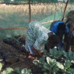 Community beneficiaries harvesting the greens