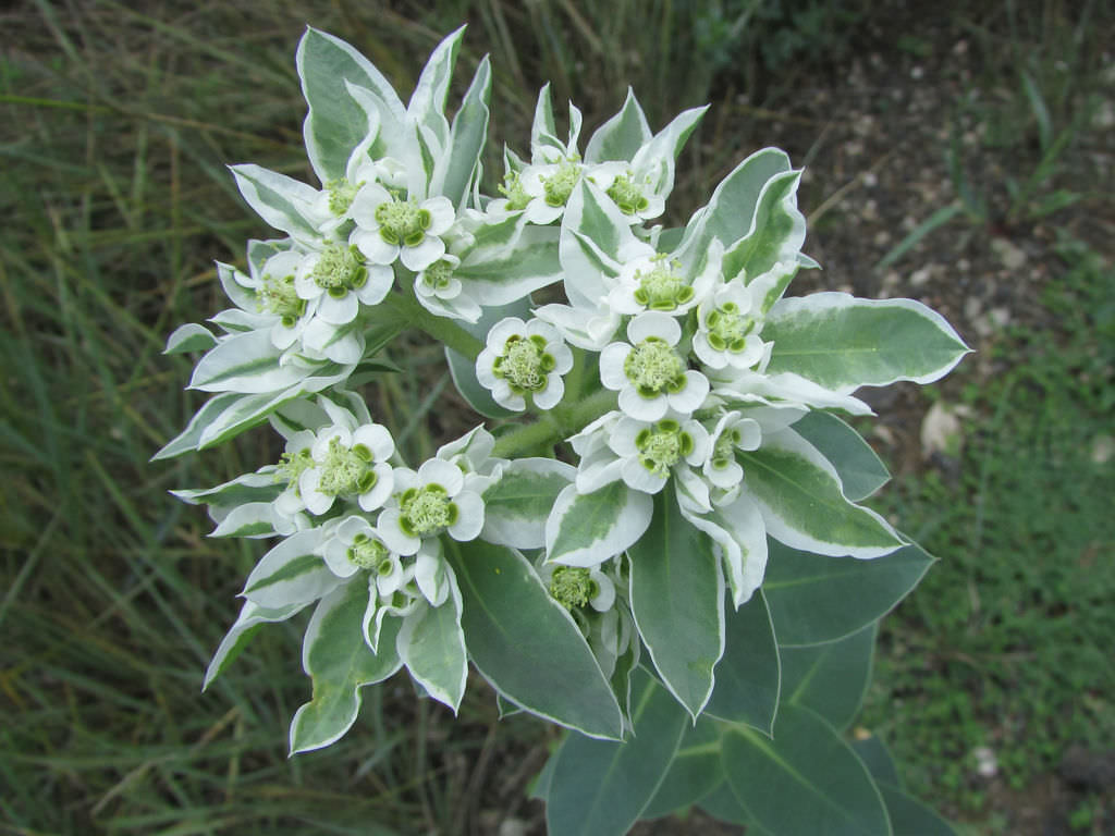 Charm Euphorbia Marginata On Photo Via Euphorbia Marginata On World Succulents Snow On Mountain Cookies Snow On Mountain Turning Brown houzz-03 Snow On The Mountain