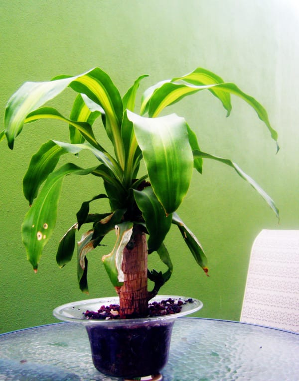 Dracaena-Plant