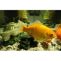 Small Crop Of How Long Do Goldfish Live