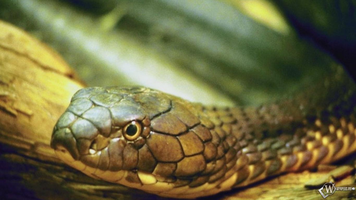 Фото кобра крупным планом 23 фотография