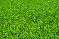 excellent grass texture or green lawn background photo