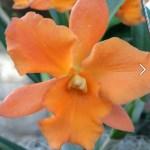 OrangeFlower4