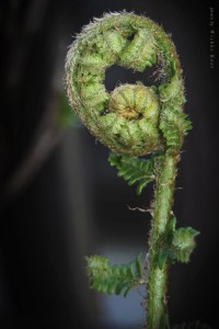 Male Fern Frond Unfurling