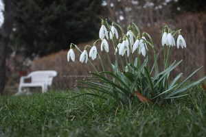 White Bench and Snowdrops