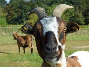 goat-1667211_960_720