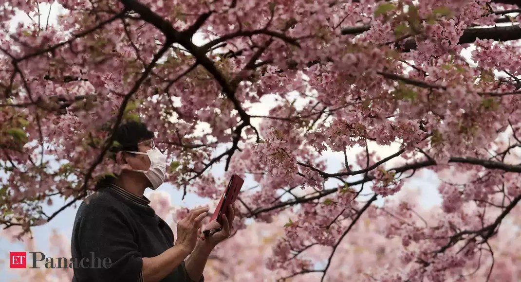Photo of Flowers that not bloom: Japan cherry blossom festivals cancelled over Coronavirus fears